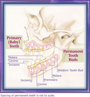 Developing teeth moving from primary to permanent ccuart Gallery