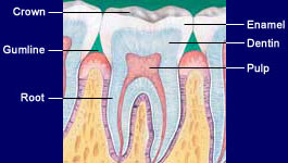 Tooth Anatomy | Dental Patient Education | Colgate Professional