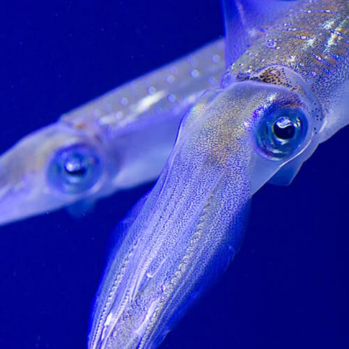 Close-up of a squid